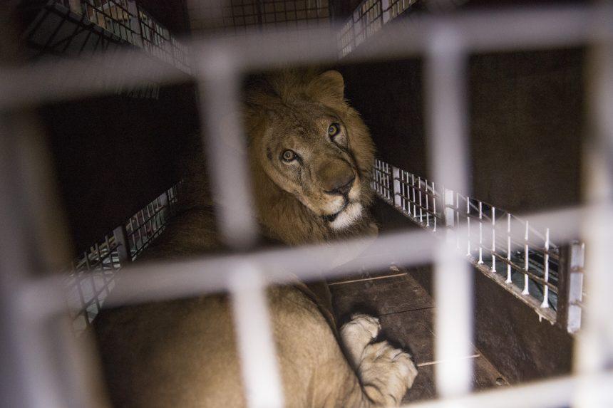 animales-circo-leon-semarnat