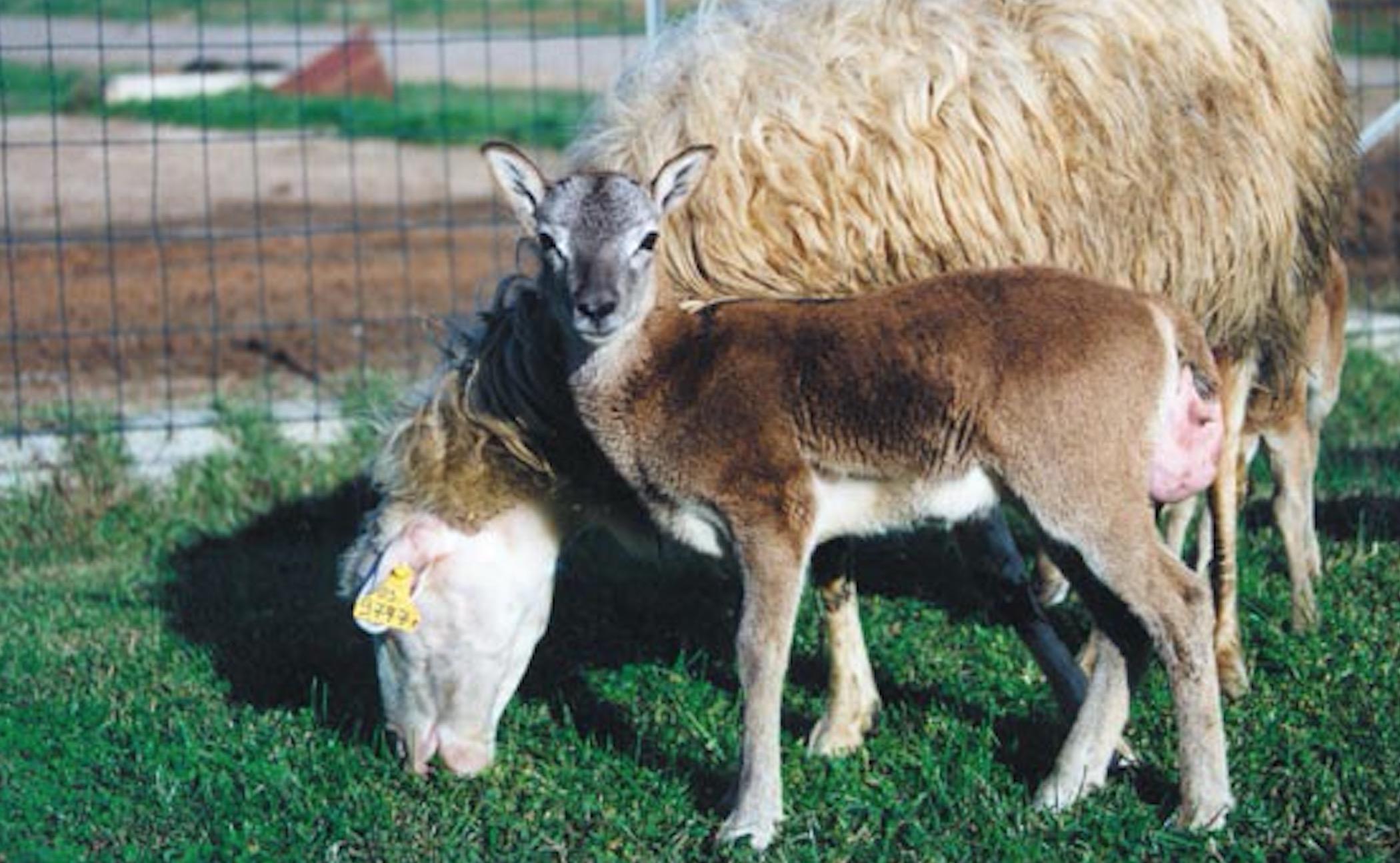 Muflones-Animales-Clonados-Crop