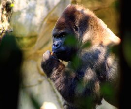 gorila-bantu-zoologico-chapultepec