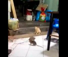 pelea ratas