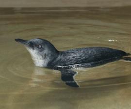 pinguino-bebe-bronx-zoo