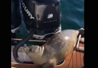 foca-escapa-ballenas