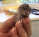 hamster-patita-rota