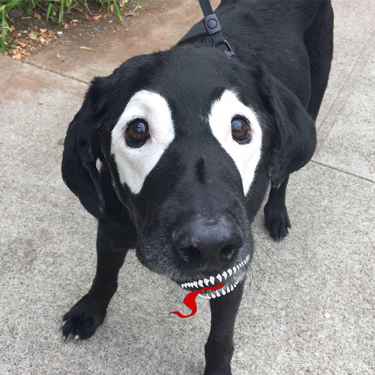 perro-labrador-photoshop9