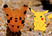pikachu-nudibranch