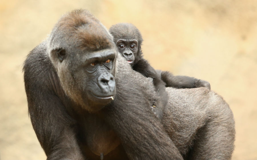 Grandes primates en peligro de extinción