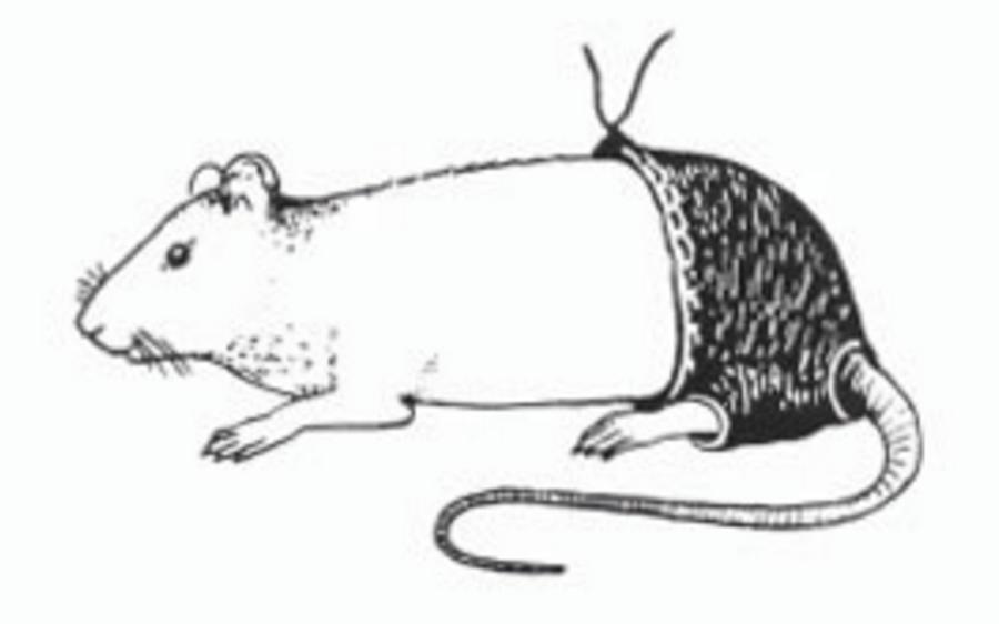 Ratas con pantalones