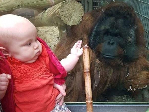 Un orangután conoció a la bebé que beso cuando estaba en el vientre de su madre
