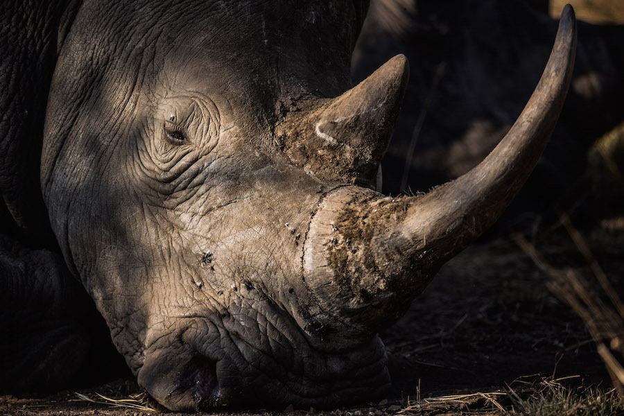 Rinoceronte - Animales en peligro