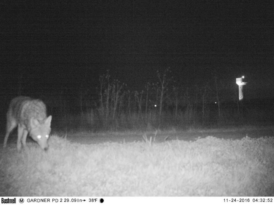 Kansas - Coyote
