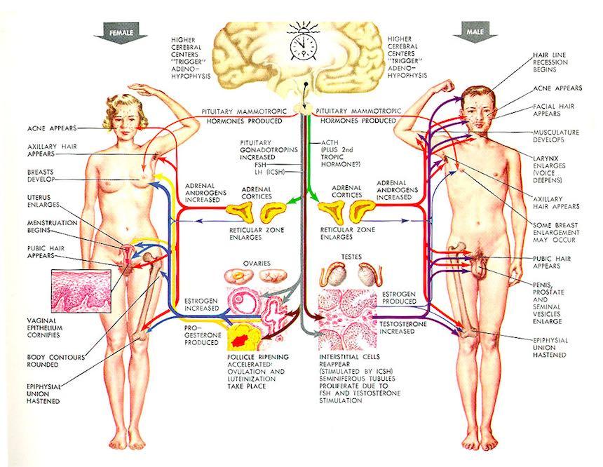 El mesenterio descubren un nuevo rgano en el cuerpo humano - Interior cuerpo humano organos ...