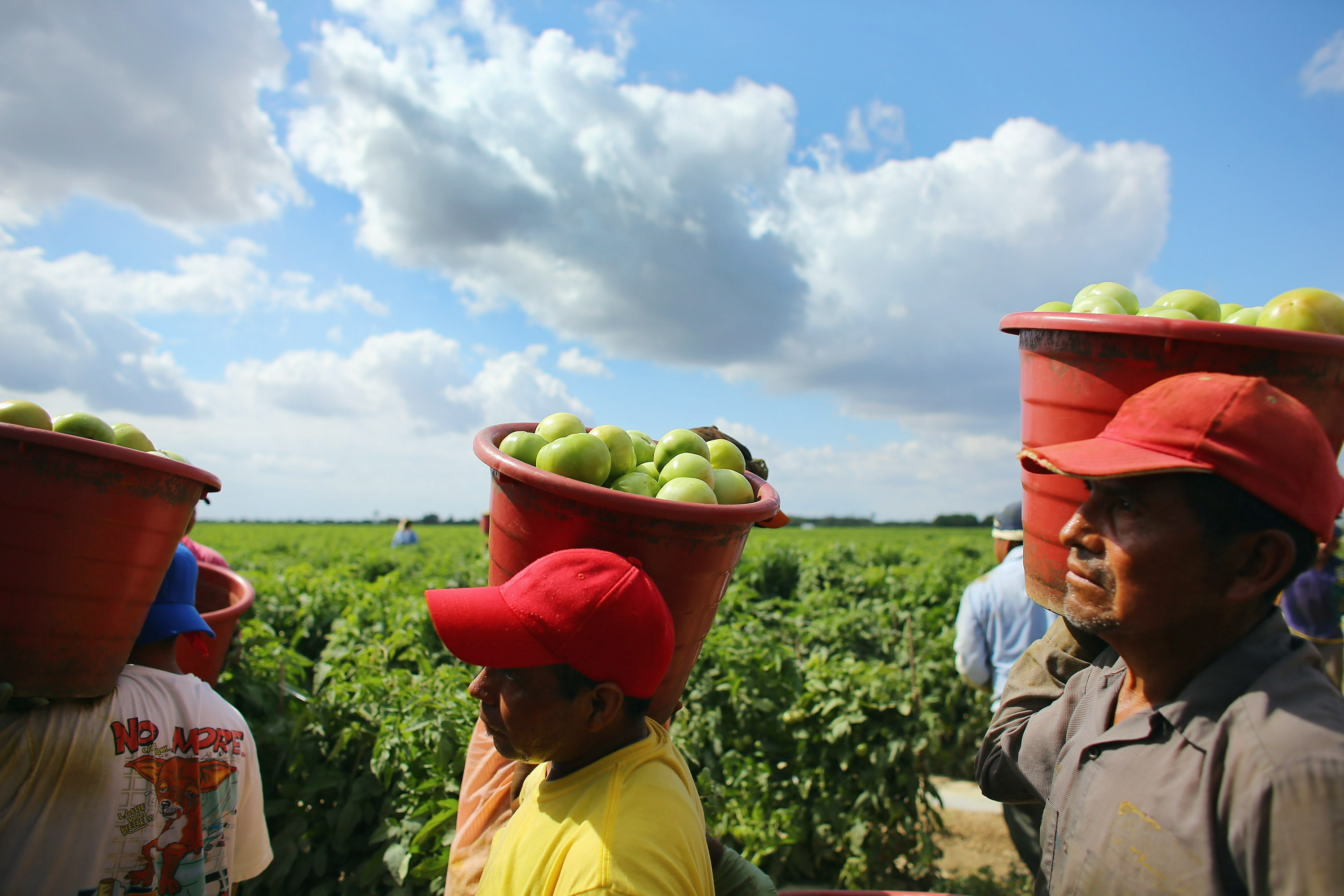 FLORIDA CITY, FL - FEBRUARY 06: Workers carry buckets of tomatoes as they harvest them in the fields of DiMare Farms on February 6, 2013 in Florida City, Florida. The United States government and Mexico reached a tentative agreement that would go into effect around March 4th, on cross-border trade in tomatoes, providing help for the Florida growers who said the Mexican tomato growers were dumping their product on the U.S. markets. (Photo by Joe Raedle/Getty Images)