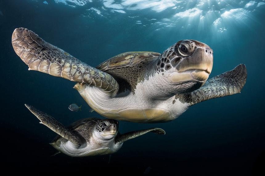 Turtugas marinas