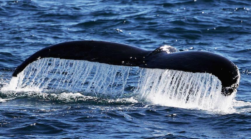 Cola de ballenas