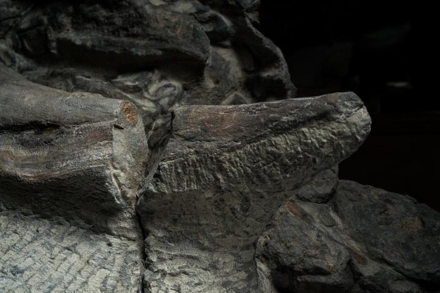 Espinas del fósil de ankylosaurio