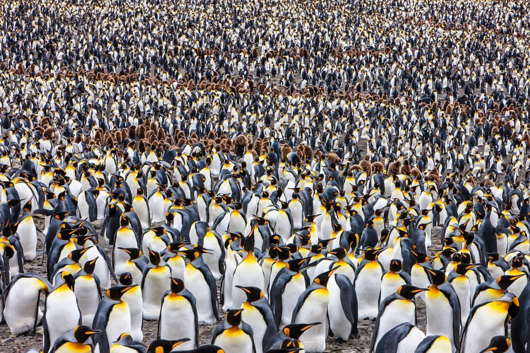 Muchísimos pingüinos
