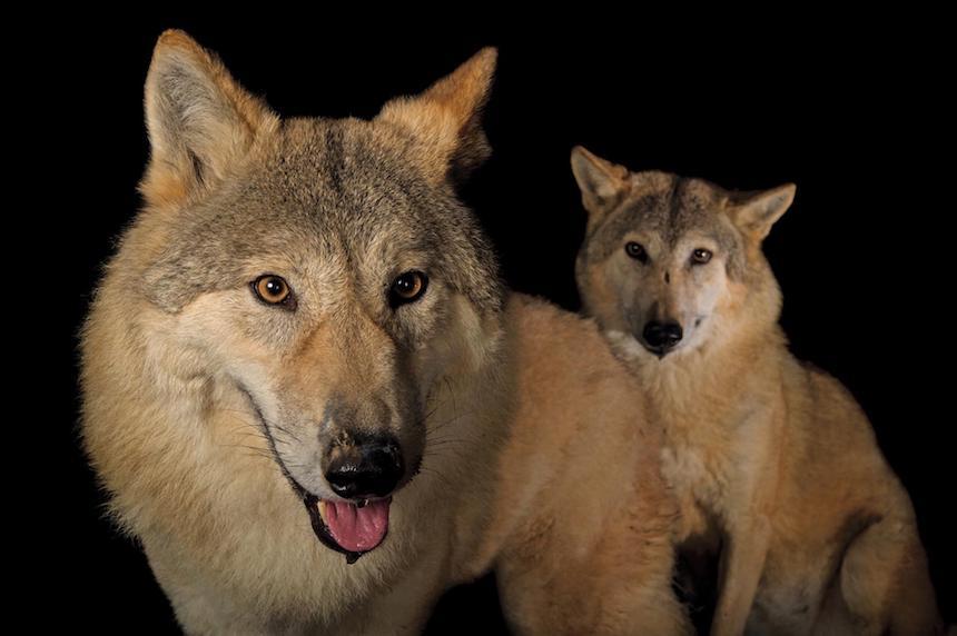 Animales en extinción - Lobos