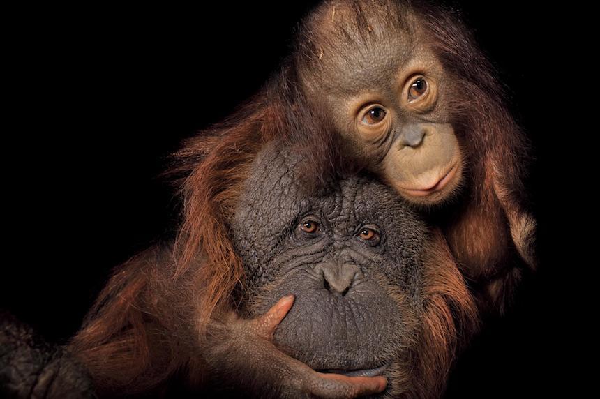 Animales en extinción - Orangutanes