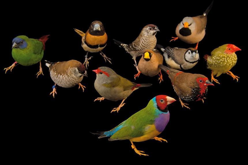 Animales en extinción - Aves cantoras