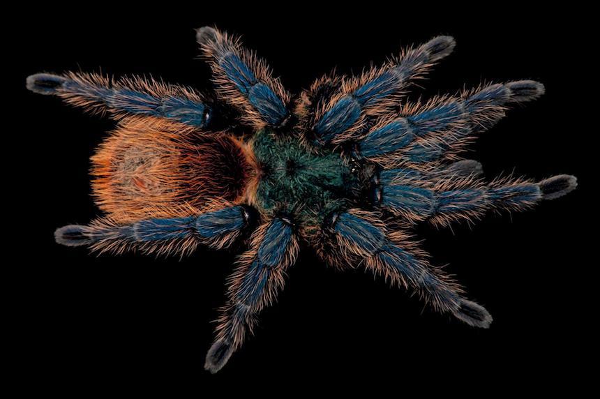 Animales en extinción - Tarántula