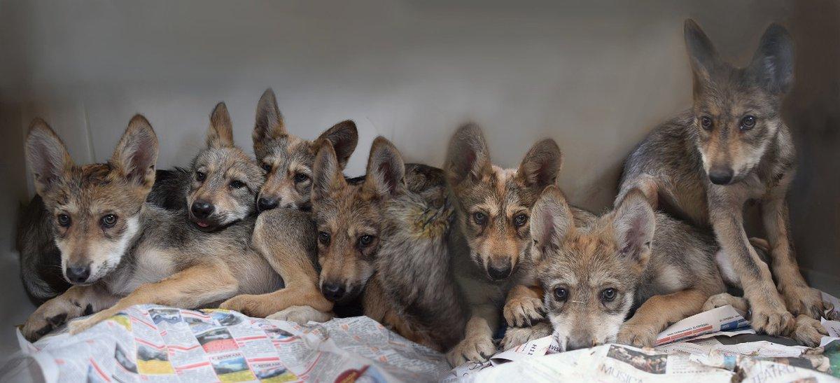 Lobo Gris Mexicano Foto De: ¿Es Posible Salvar Al Lobo Mexicano De La Extinción?