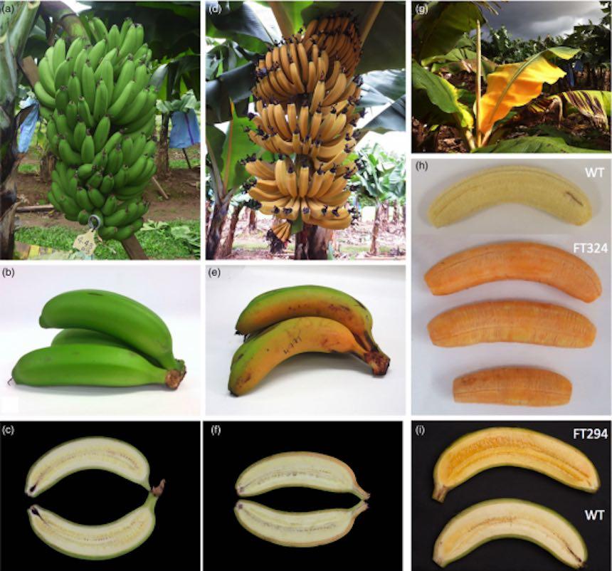Plátanos fortificados