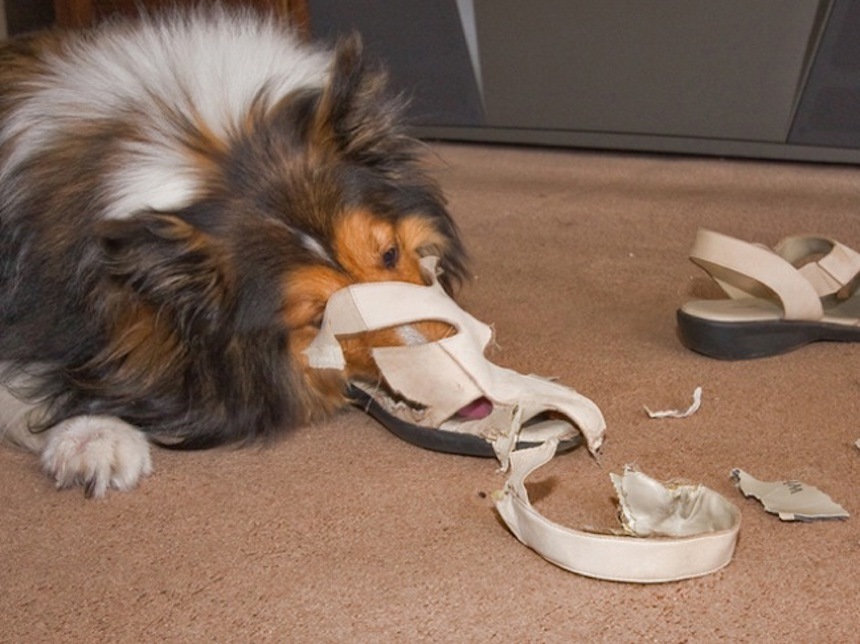 Perrito rompe zapatos