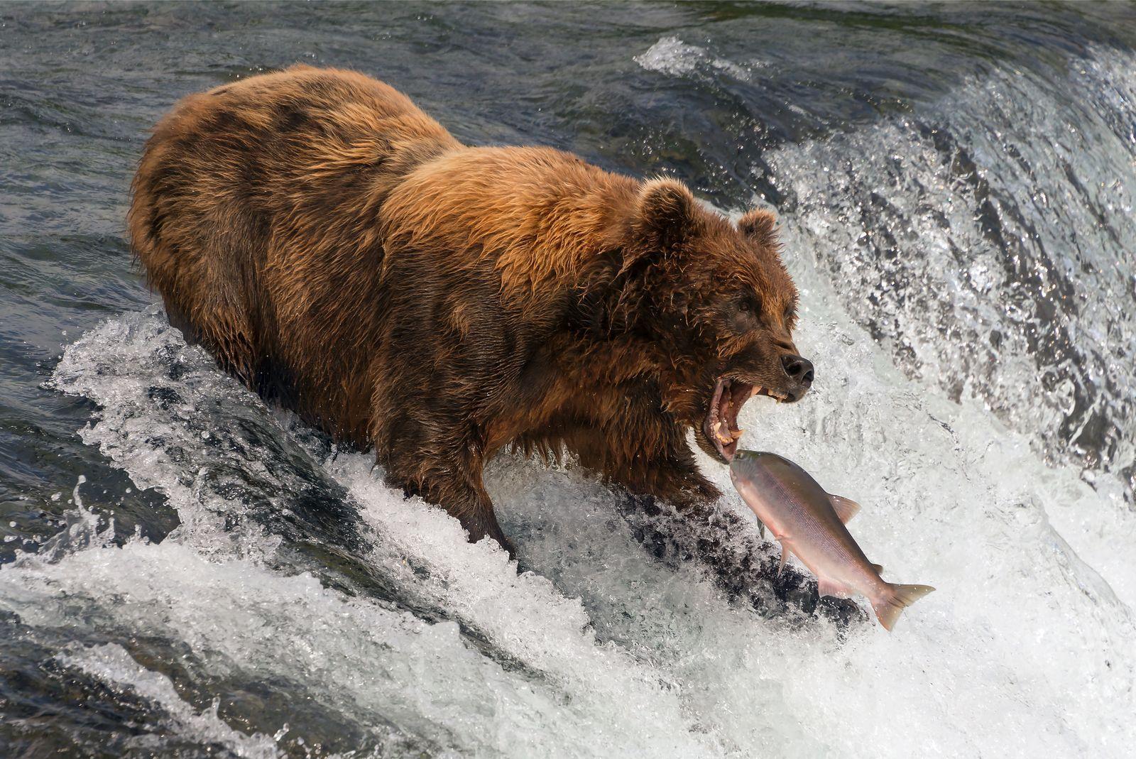 Oso a punto de comerse un salmón
