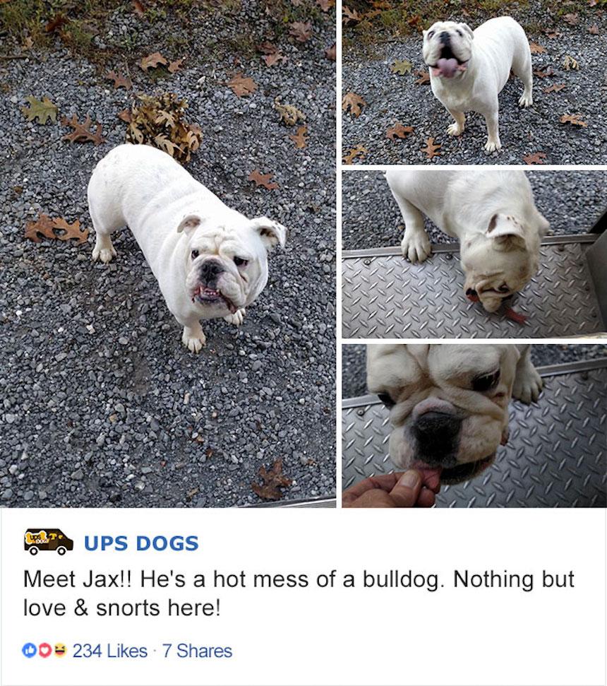 Empleados de UPS y perritos - Bulldog