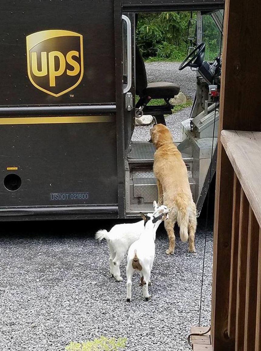 Empleados de UPS y perritos - Cabras también