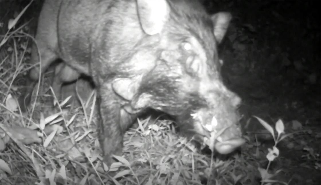 Cerdo más feo del planeta