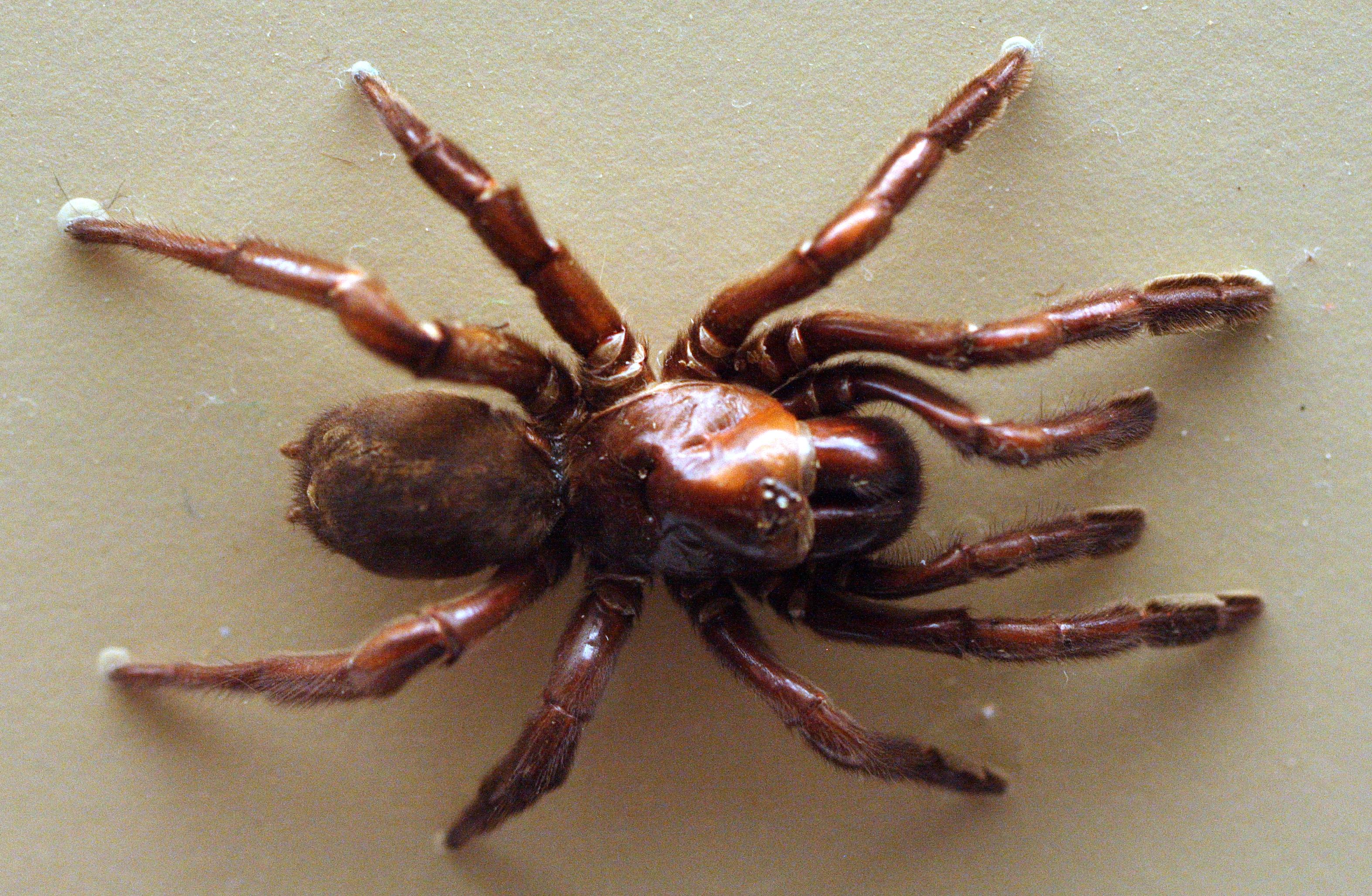 Muere araña más vieja del mundo