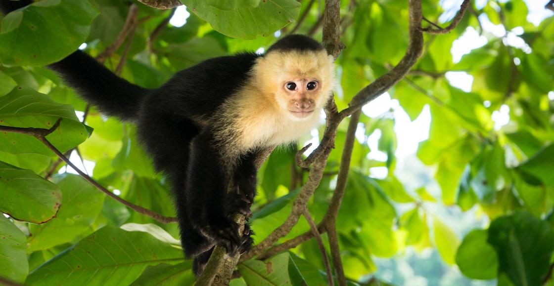 ¡Tiembla mono capuchino! Policias rescatan a Tucán en la CDMX