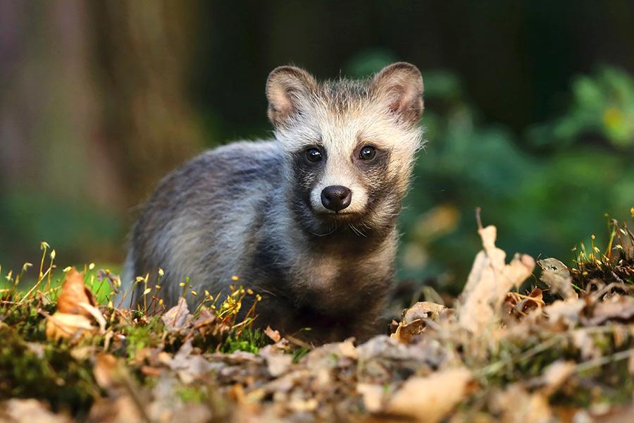 WTF? Los perros mapache existen ¡Y queremos uno!