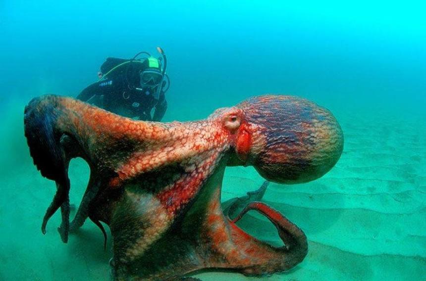 Molusco abrazando a buzo