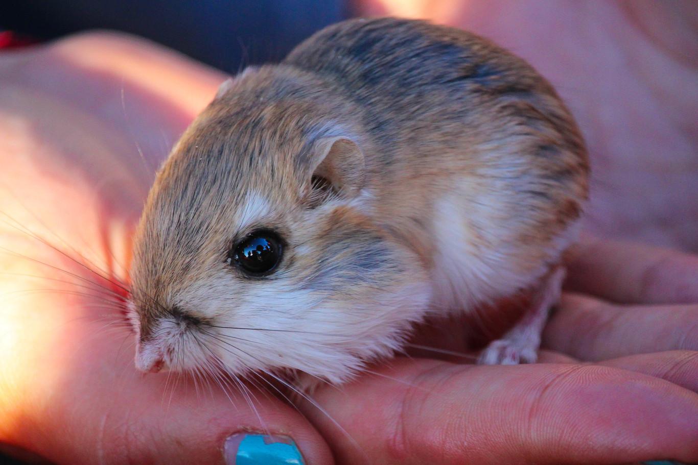 Redescubren rata canguro